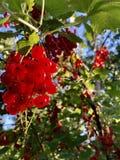 un manojo de pasas rojas cuelga en una rama Foto de archivo libre de regalías
