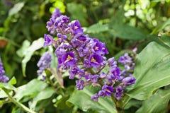 Un manojo de pequeñas flores púrpuras imagenes de archivo