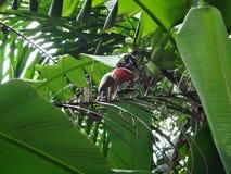 Un manojo de plátano crudo en el árbol de plátano Fotos de archivo