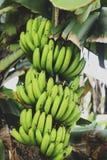 Un manojo de plátano en el árbol fotos de archivo libres de regalías
