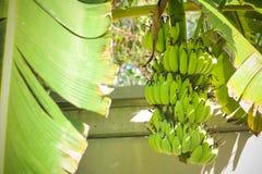 Un manojo de plátano verde en el patio trasero imagenes de archivo