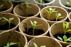 Un manojo de plantas del bebé Fotografía de archivo