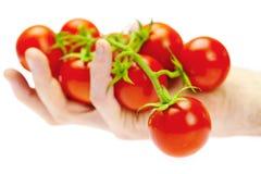 Un manojo de tomate en su hombre de la mano Imágenes de archivo libres de regalías