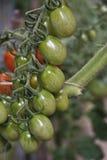 Un manojo de tomates de cereza Foto de archivo