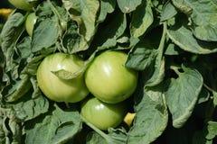 Un manojo de tomates verdes en las ramas en el huerto 2 foto de archivo libre de regalías