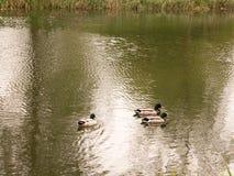 Un manojo de tres patos silvestres masculinos que nadan rio abajo de la corriente adentro Imagenes de archivo