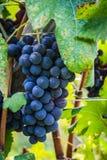Un manojo de uva roja antes de la cosecha Imagen de archivo