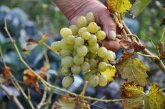 Un manojo de uva verde en una mano de un granjero mayor foto de archivo