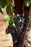 Un manojo de uvas Foto de archivo libre de regalías