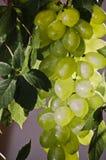 Un manojo de uvas Imágenes de archivo libres de regalías
