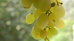 Un manojo de uvas blancas que se mueven en la brisa almacen de video