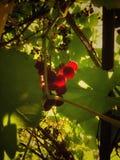 Un manojo de uvas en el jardín foto de archivo libre de regalías