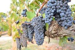 Un manojo de uvas rojas durante la cosecha Italia imágenes de archivo libres de regalías