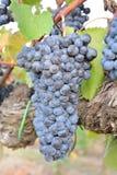 Un manojo de uvas rojas durante la cosecha Italia imagen de archivo libre de regalías