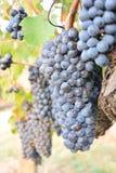 Un manojo de uvas rojas en Toscana foto de archivo