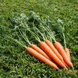 Un manojo de verde de las zanahorias se va en hierba verde el día soleado Cierre para arriba Visión superior Fotos de archivo