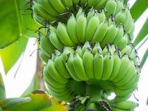 Un manojo grande del plátano en un árbol de plátano fotografía de archivo libre de regalías
