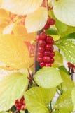 Un manojo hermoso de bayas maduras de la ejecución china del Cymbopogon en una vid Bayas rojas curativas Día asoleado Foco select Imagen de archivo libre de regalías