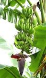 Un manojo hermoso de plátano inmaduro Imagen de archivo
