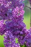 Un manojo hermoso de primer de la lila Fotografía de archivo libre de regalías