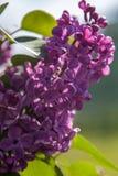 Un manojo hermoso de primer de la lila Imagen de archivo