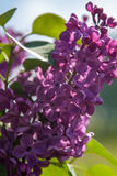 Un manojo hermoso de primer de la lila Foto de archivo libre de regalías