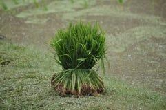 Un manojo o plantas de arroz Foto de archivo libre de regalías