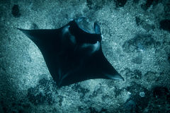 Un Manta Ray au point de manta images libres de droits