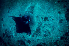 Un Manta Ray au point de manta photos libres de droits