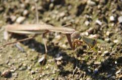 Un mantis che mangia una cavalletta Fotografie Stock Libere da Diritti