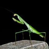 Un Mantis de prière sur le fond noir Images libres de droits