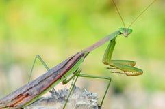 Un mantis sorridente Fotografia Stock