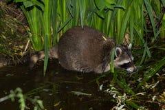 Un mapache en el agua está buscando la comida Imagenes de archivo