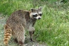 Un mapache en el rastro imagen de archivo
