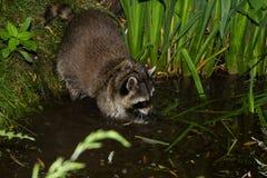 Un mapache está pescando en el agua Fotografía de archivo libre de regalías