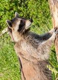 Un mapache más entrometido que se coloca vertical en un árbol Fotos de archivo libres de regalías