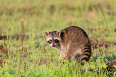 Un mapache que forrajea para el desayuno sobre las horas tempranas de la mañana en la reserva del botón Bald Foto de archivo