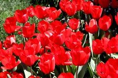 Un mar de tulipanes rojos fotos de archivo libres de regalías