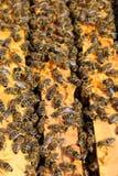 Un marco de la colmena cubierto con las abejas ocupadas Imagenes de archivo