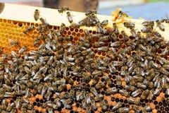Un marco de la colmena cubierto con las abejas ocupadas Imagen de archivo