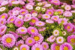 Un marco llenado de los asteres color de rosa Imagen de archivo libre de regalías