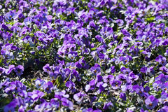 Un mare dei fiori Immagini Stock Libere da Diritti