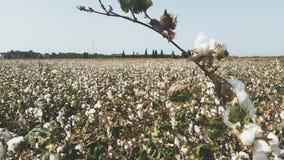 Un mare di cotone bianco Fotografia Stock