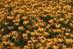Un mare di giallo Immagini Stock