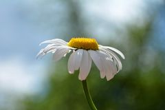 Un Margerite en la luz del sol Fotografía de archivo libre de regalías