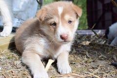 Un marrón cum el perro de perrito blanco se sentó en el primero plano con una cara emocional imagen de archivo