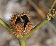 Un marrone, diavoli maturi baccello del seme del Jimsonweed o diserba che scoppia con i semi tossici Fotografia Stock Libera da Diritti