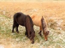 Un marrone scuro e cavalli islandesi marrone chiaro uno che mangiano erba parallelamente nel campo Immagini Stock
