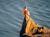 Un martín pescador Fotografía de archivo libre de regalías