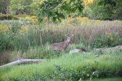 Un maschio dei cervi dalla coda bianca che sta fermo nell'arboreto del Humber di Toronto Fotografie Stock Libere da Diritti